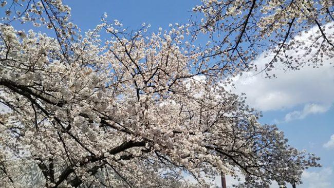 球場北側の桜