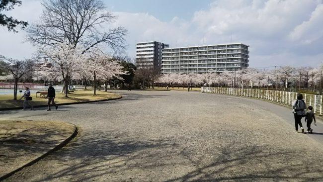 公演に入った直後の桜