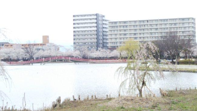 湖の向こうに見える桜