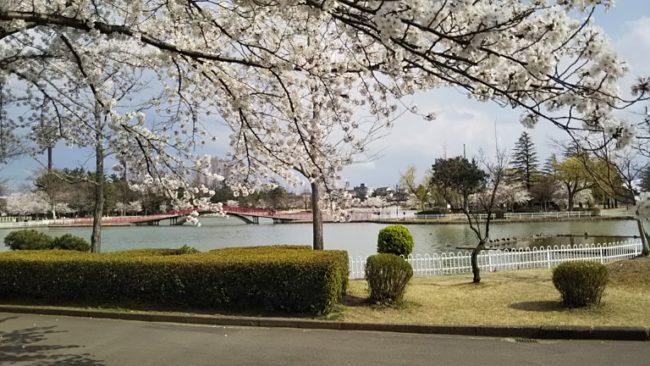 桜の向こうに見える橋